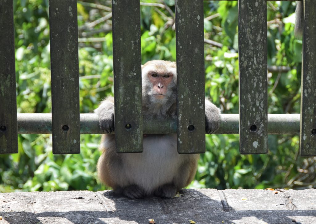 scimmie taiwan dulan montagne