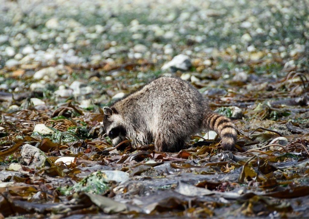 procione fauna isole san juan