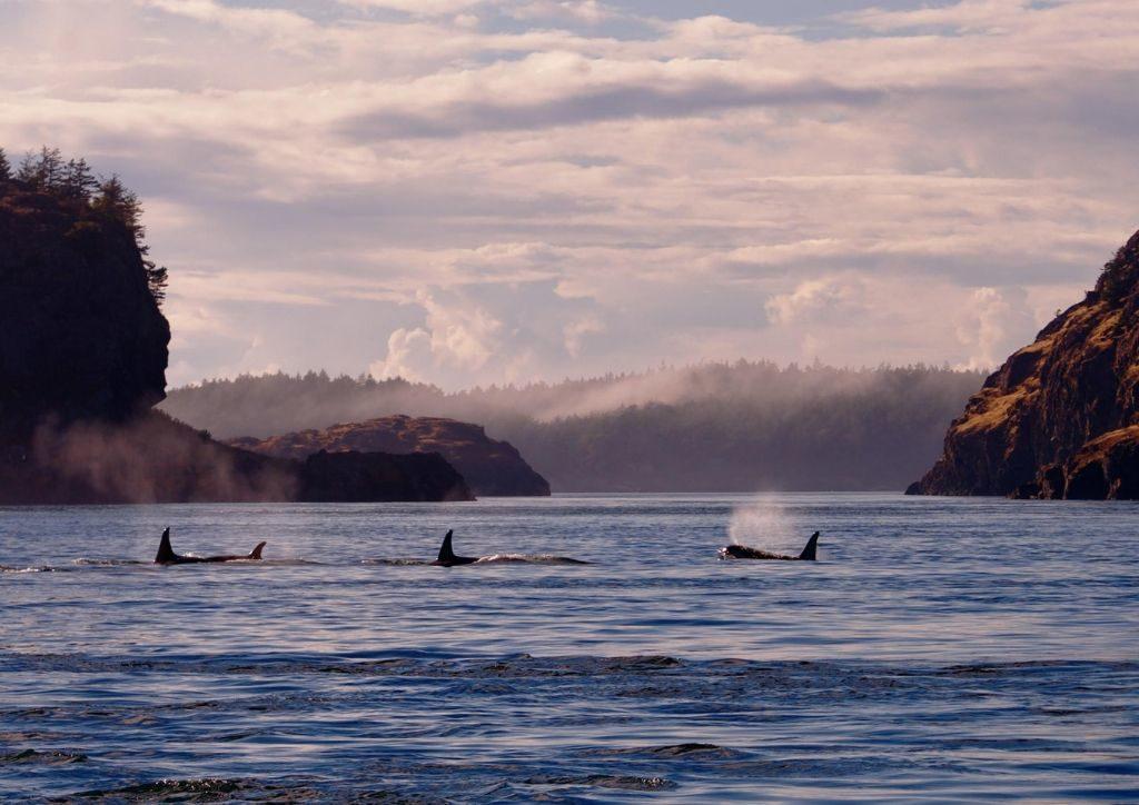 whale watching alle isole San Juan. Foto di Jim Maya, per cortesia di VisitSanJuan